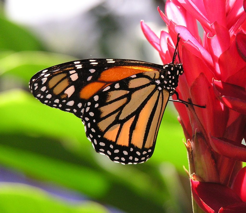 Top things to do on St. Maarten / St. Martin: visit The Butterfly Farm