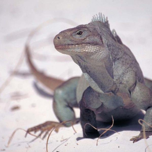 Iguana Island - Turks & Caicos