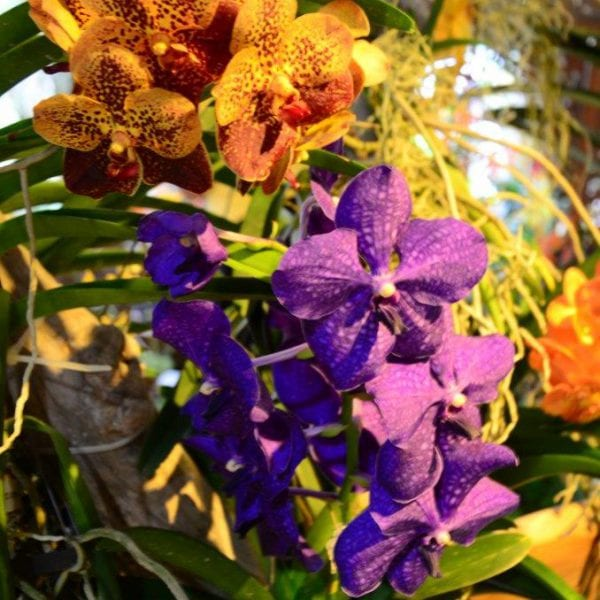 Cayman Islands Orchid Show