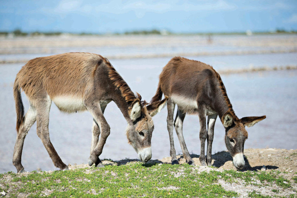 Roaming donkeys on Grand Turk